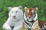 Brothers (White & Orange Tigers) Art Poster Print Print