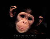 Chimp The Natural World Art Print Poster Print
