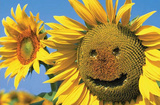 Sunflower (Smile) Art Poster Print Posters