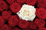 Bed of Roses (Red & White) Art Poster Print Psters