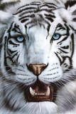 White Tiger (Tigre Blanco) Art Poster Print Prints