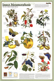 Insect Metamorphosis Educational Science Chart Poster Pôsters
