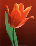 Tulip on Red (Close-Up) Art Poster Print Prints