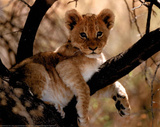 Lion Cub Art Print Poster Posters