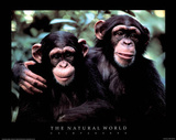 Two Chimps The Natural World Art Print Poster Poster
