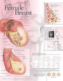 The Female Breast Anatomical Chart Poster Print Prints