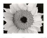 Sunflower (B&W Close-Up) Art Poster Print Prints
