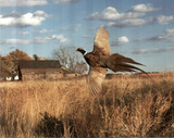 Pheasant (In Flight) Photo Print Poster Prints