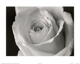 Rose (B&W Close-Up) Art Poster Print Print
