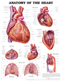 Anatomy of the Heart Anatomical Chart Poster Print Print