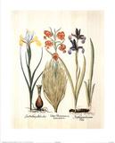 Lilium (Flowers) Art Print Poster Posters