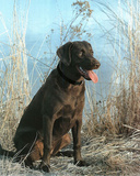 Chocolate Labrador Retriever (Photo) Art Print Poster Prints