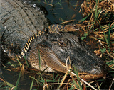 Tom & Pat Lesson (American Alligator & Baby) Art Poster Print Posters