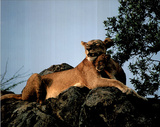 Mountain Lion and Cub on Rock Art Print Poster Posters