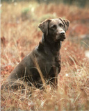 Black Labrador (Dog in Field) Art Poster Print Posters