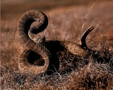 Rattlesnake (Ready to Strike) Art Poster Print Posters
