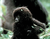 Baby Mountain Gorilla in the Wild Art Print Poster Posters
