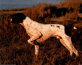 German Shorthair Pointer (In Field) Art Poster Print Prints