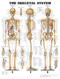 The Skeletal System Anatomical Chart Poster Print - Reprodüksiyon