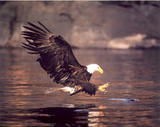 Bald Eagle (Catching Fish) Art Poster Print Photo