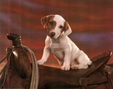 Jack Russell Terrier (Puppy on Saddle) Art Poster Print Posters
