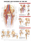 Anatomy and Injuries of the Hip Anatomical Chart Poster Print Posters