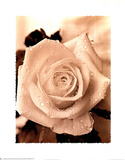Sepia Single Rose Art Print Poster flower floral Prints