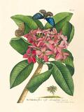 Plumeria Premium Giclee Print by Georg Dionysius Ehret