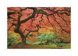 Japanese Maple Tree Giclee Print by Donald Paulson