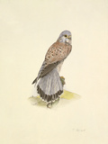 Kestrel Premium Giclee Print by C.T.N. Ackland