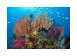 Sea Fans and Schooling Fusiliers Giclee Print by  Jones-Shimlock