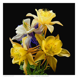 Columbines Origami Mix Posters by Richard Reynolds