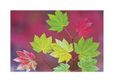 Vine Maple Leaves Limited Edition by Donald Paulson