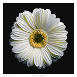 Gerbera Daisy 2 Prints by Richard Reynolds