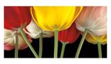Sunshine Tulips Prints by Assaf Frank
