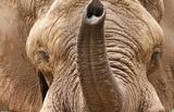 African Elephant (Head and Trunk) Masterprint
