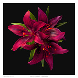 Asiatic Lily- Montenegro Posters by Richard Reynolds