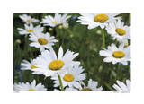 Daisy Detail Limited Edition by Stacy Bass