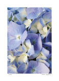 Pale Blue Hydrangea Giclee Print by Stacy Bass