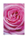Pink Rose 3 Giclee Print by Stacy Bass