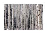 Aspen Forest Limited Edition by Donald Paulson