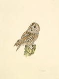 Tawny Owl Premium Giclee Print by C.T.N. Ackland