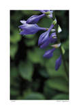 Hosta Flower Detail Limited Edition by Stacy Bass