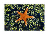 Sea Star on Sea Squirts Colony Limited Edition by Jones-Shimlock 