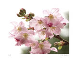 Cherry Blossoms II Limited Edition by Joy Doherty
