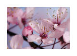Cherry Blossoms II Limited Edition by Donald Paulson