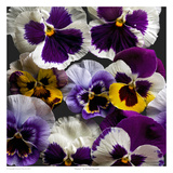 Pansies Art by Richard Reynolds