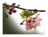 Cherry Blossoms III Giclee Print by Joy Doherty