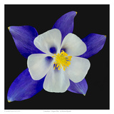 Columbine - Origami Blue Print by Richard Reynolds