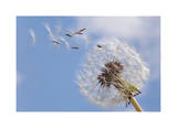 Dandelion Wishes Giclee Print by Donald Paulson
